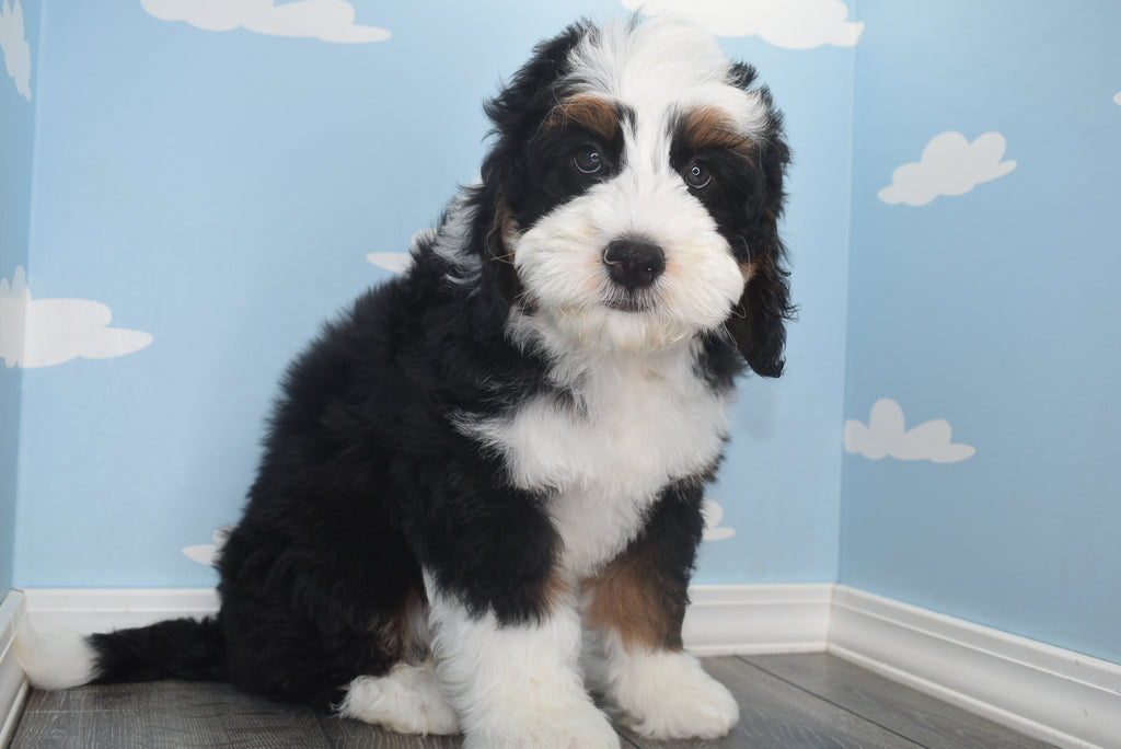 **RESERVED**Ace Male Miniature Bernedoodle Puppy