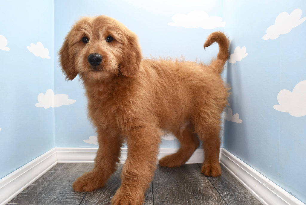 Magic Male Miniature Goldendoodle Puppy