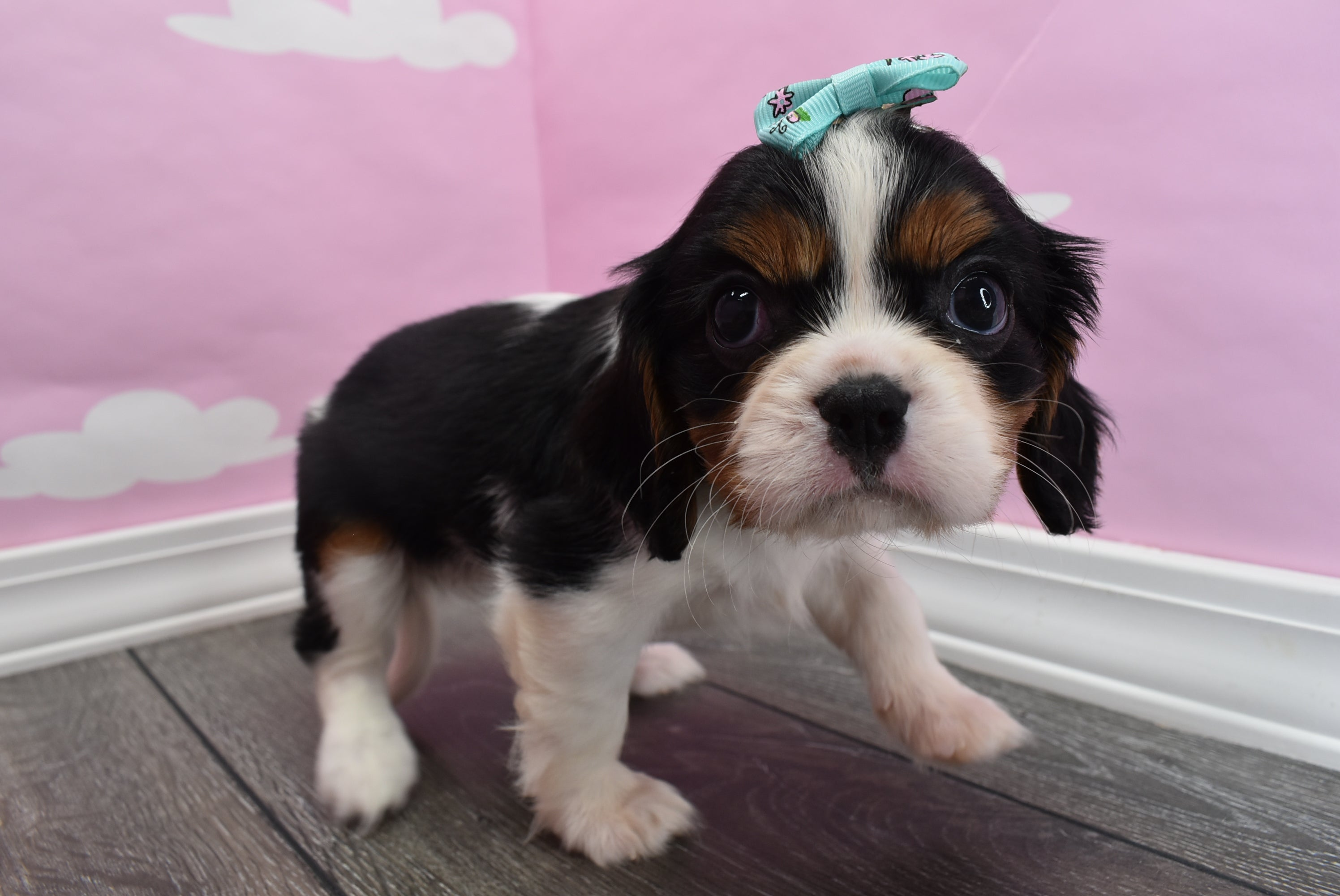 **RESERVED**Candy Female Cavalier King Charles Spaniel Puppy