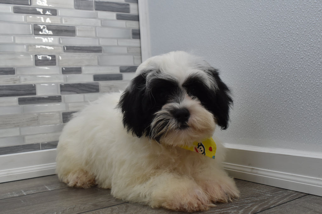 Frazier Male Teacup Shih Poo Puppy