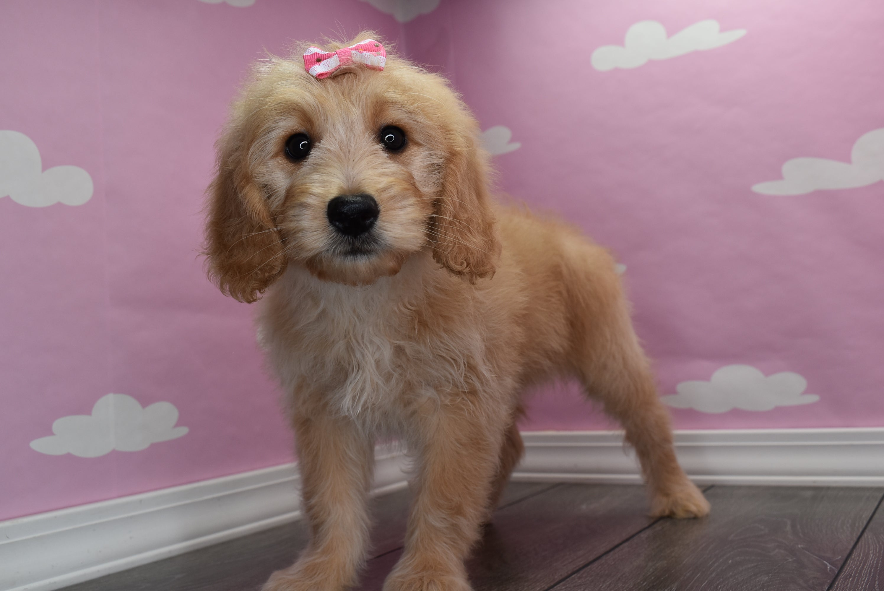 **RESERVED**Summer Female Miniature Goldendoodle Puppy