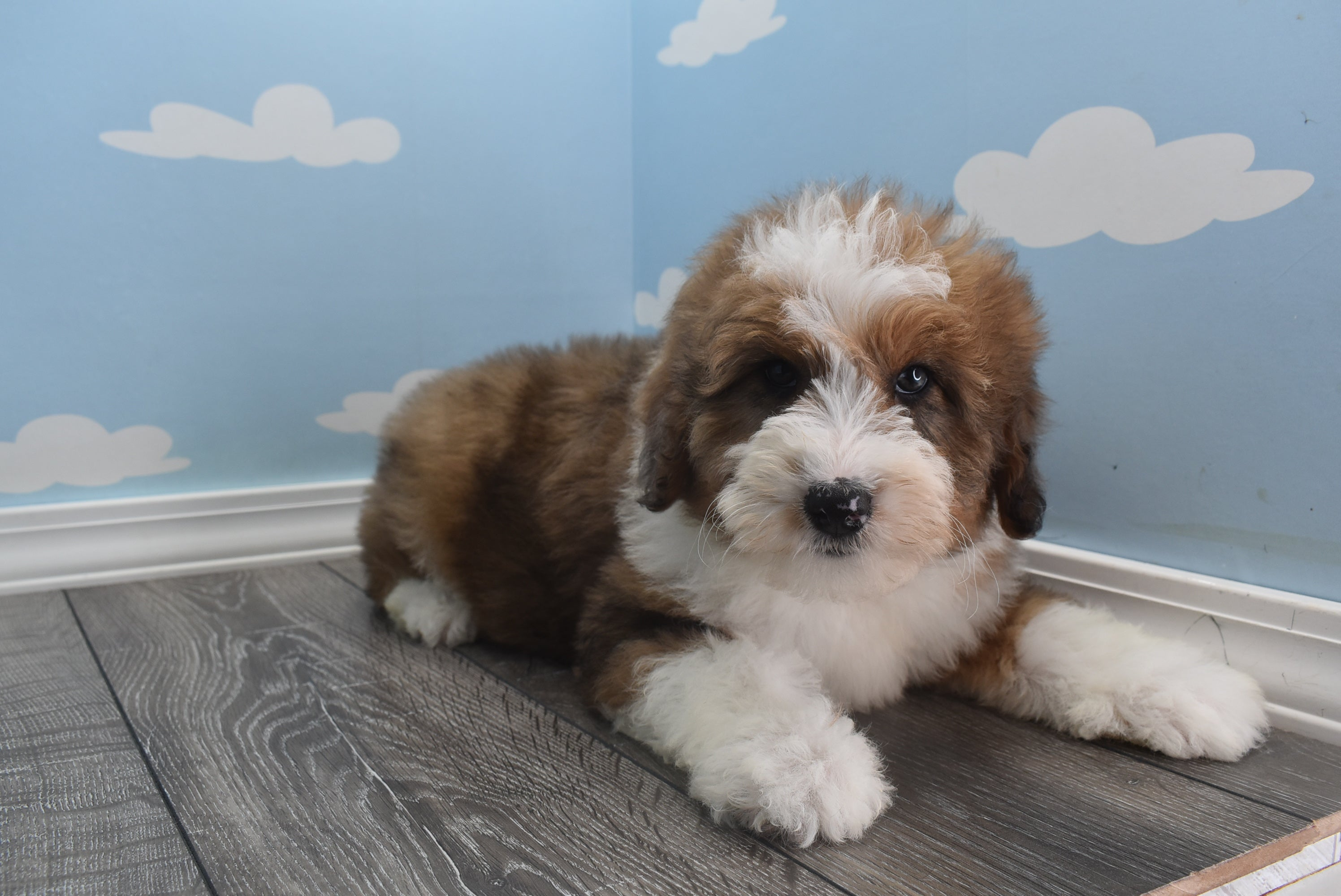 **RESERVED**Buster Male Miniature Aussiedoodle Puppy