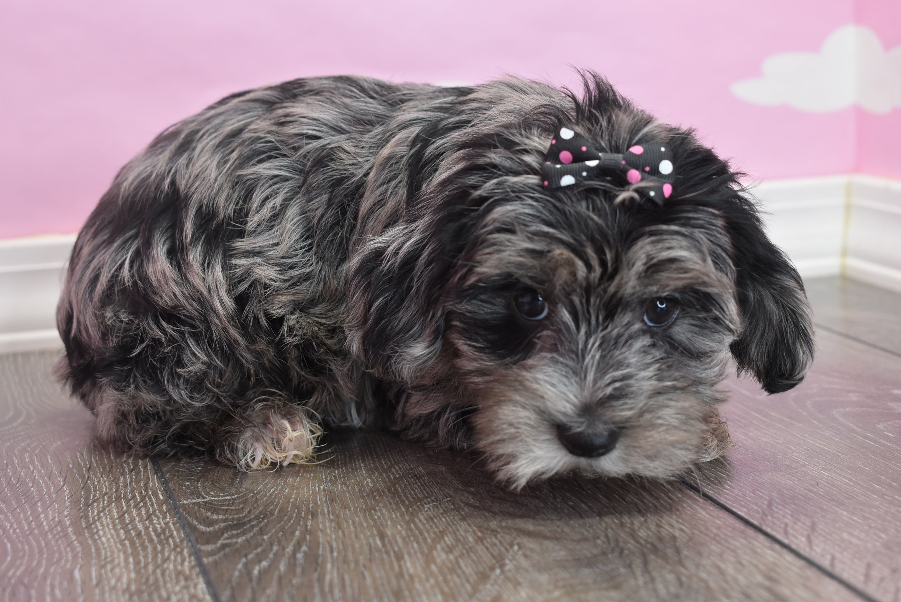 *RESERVED* Zola Female Teacup Yorkipoo Puppy