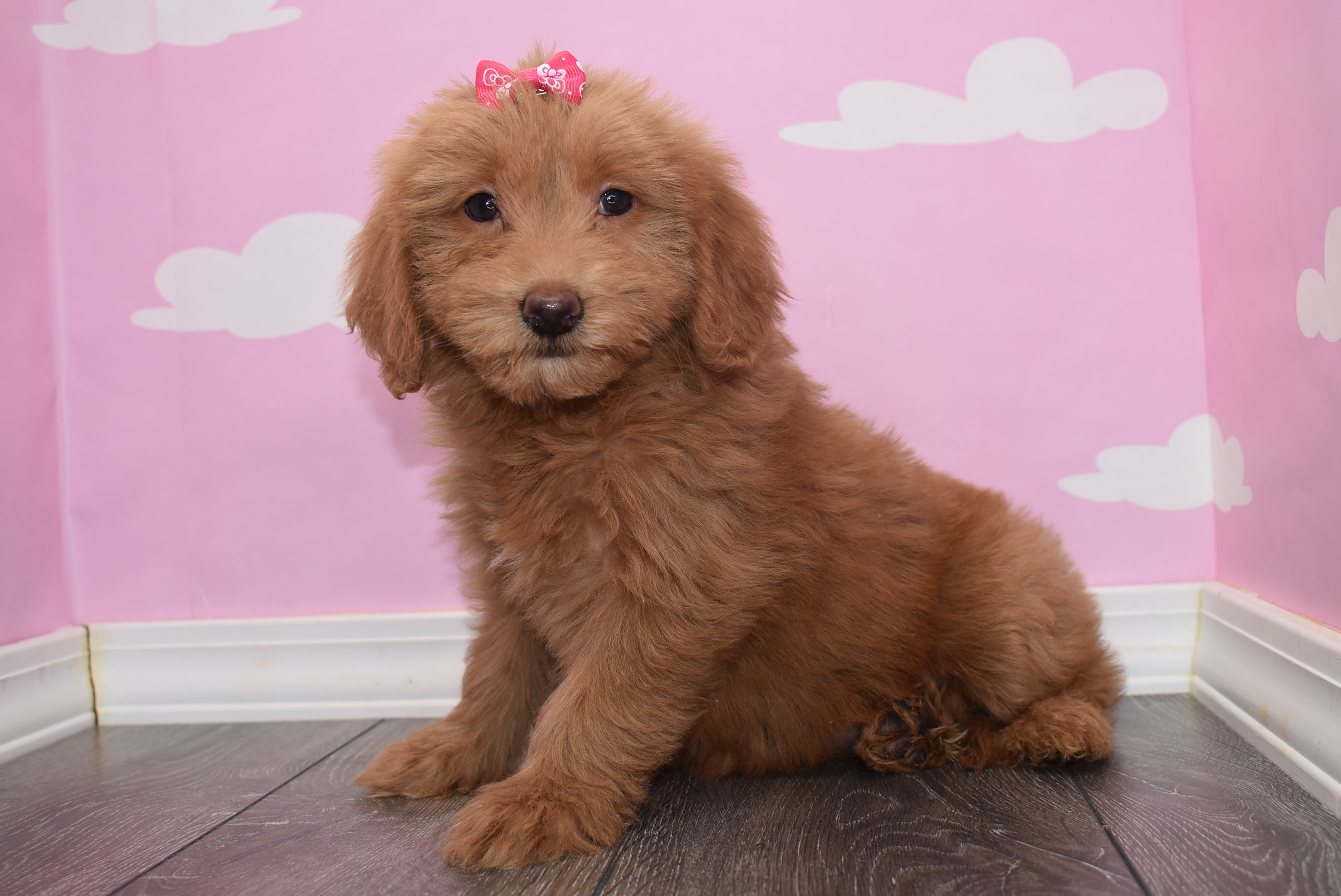 *RESERVED*Mila Female F1B Miniature Goldendoodle Puppy