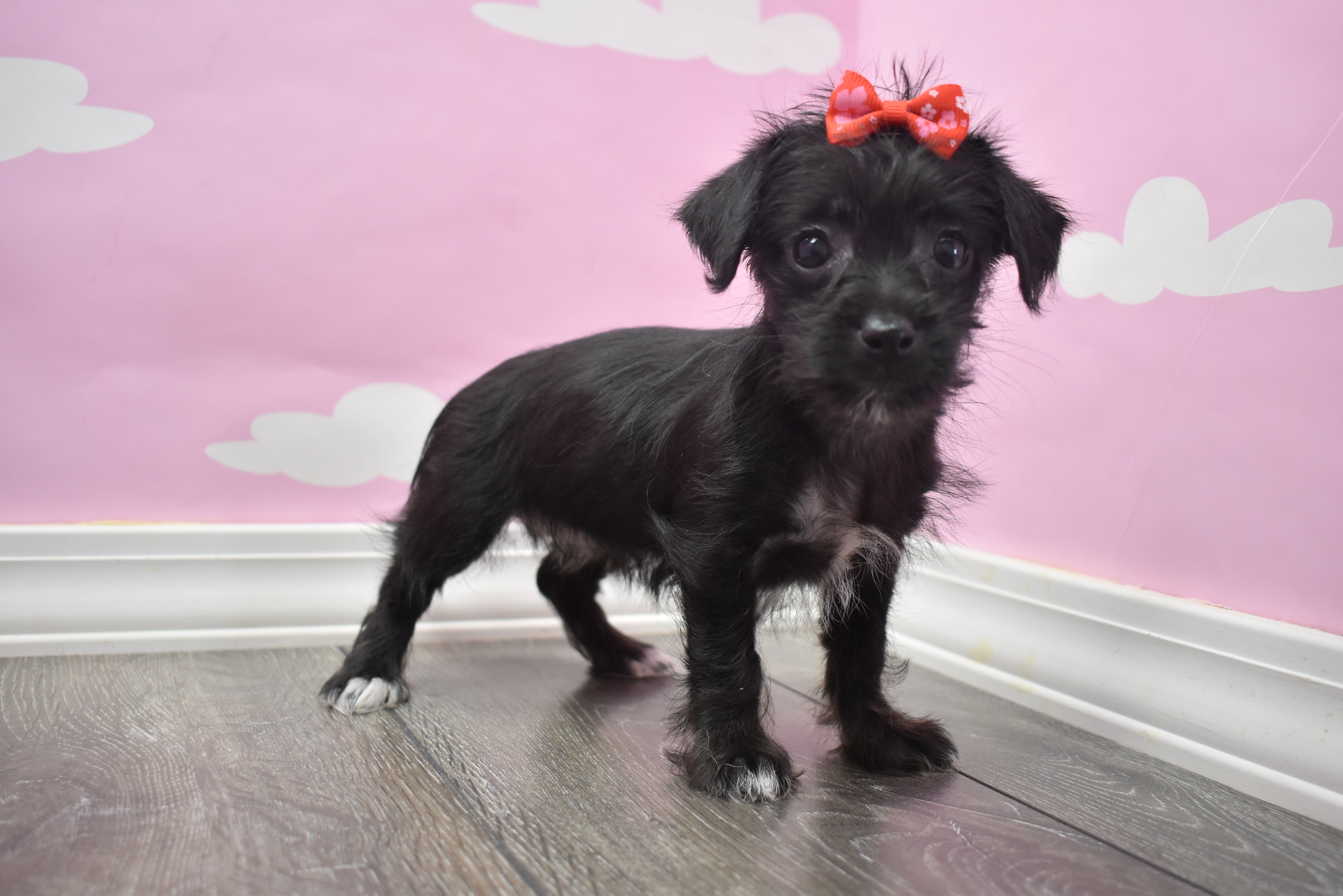*RESERVED* Yuma Female Teacup-Toy Yorkichon Puppy