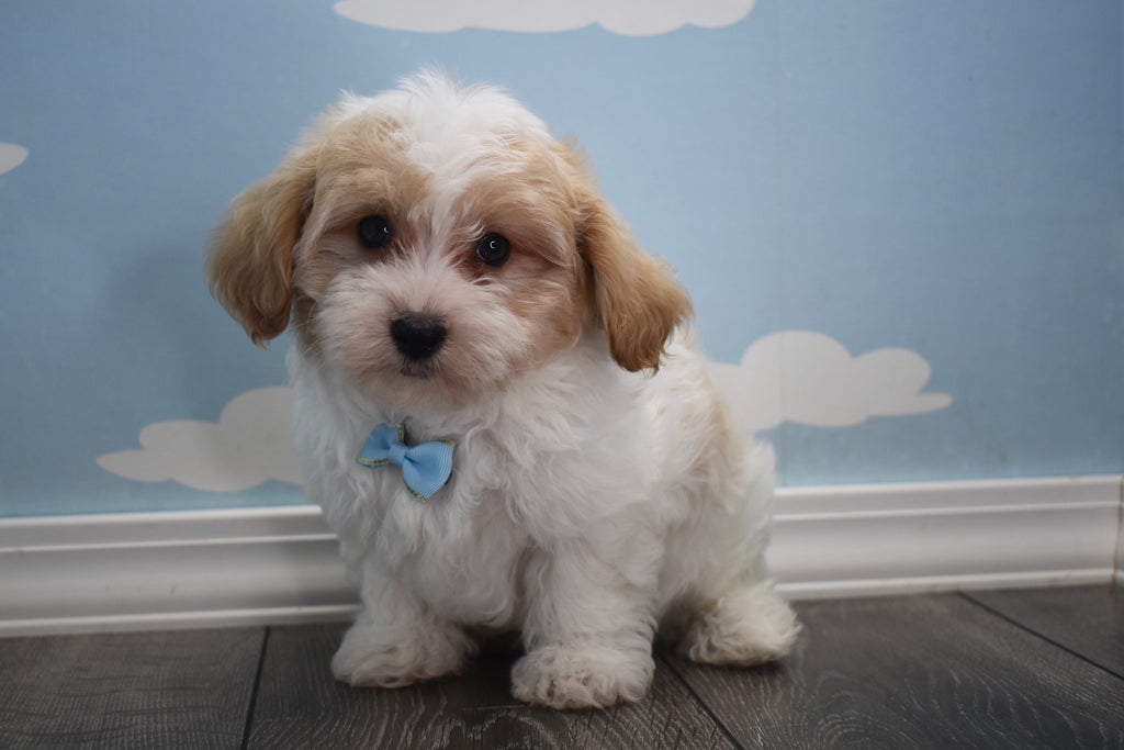Teacup Havanese Puppies | Happytail Puppies | Family Dog ...