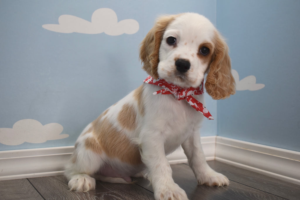 Cocker Spaniel Puppies Happytail Puppies Family Dog Breeders Nc