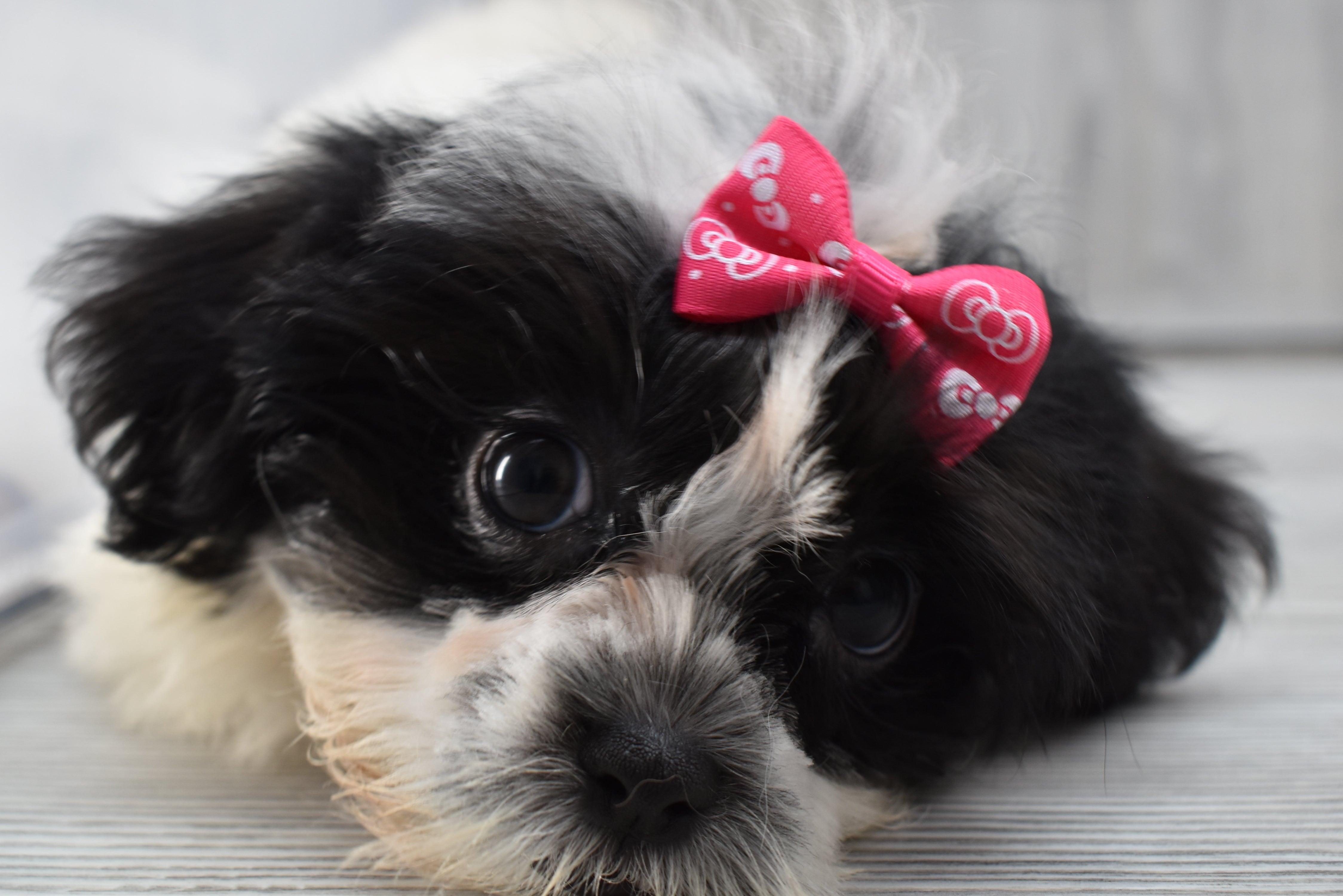 *RESERVED*Tweety Female Teacup Malshi Puppy