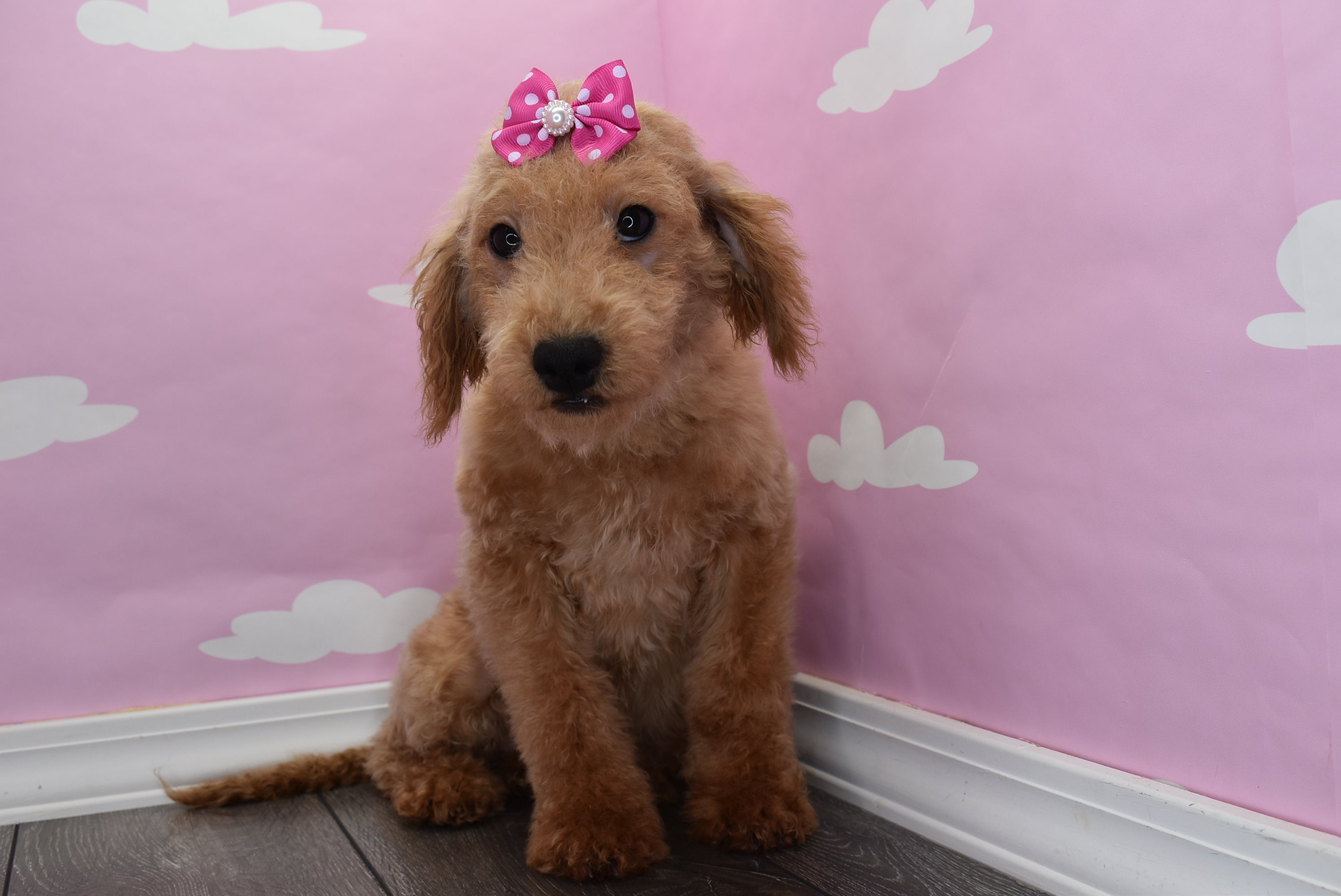 *RESERVED* Jazzy Female F1B Miniature Goldendoodle Puppy