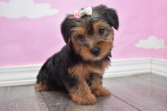 Harper Female Teacup-Toy Yorkie Puppy
