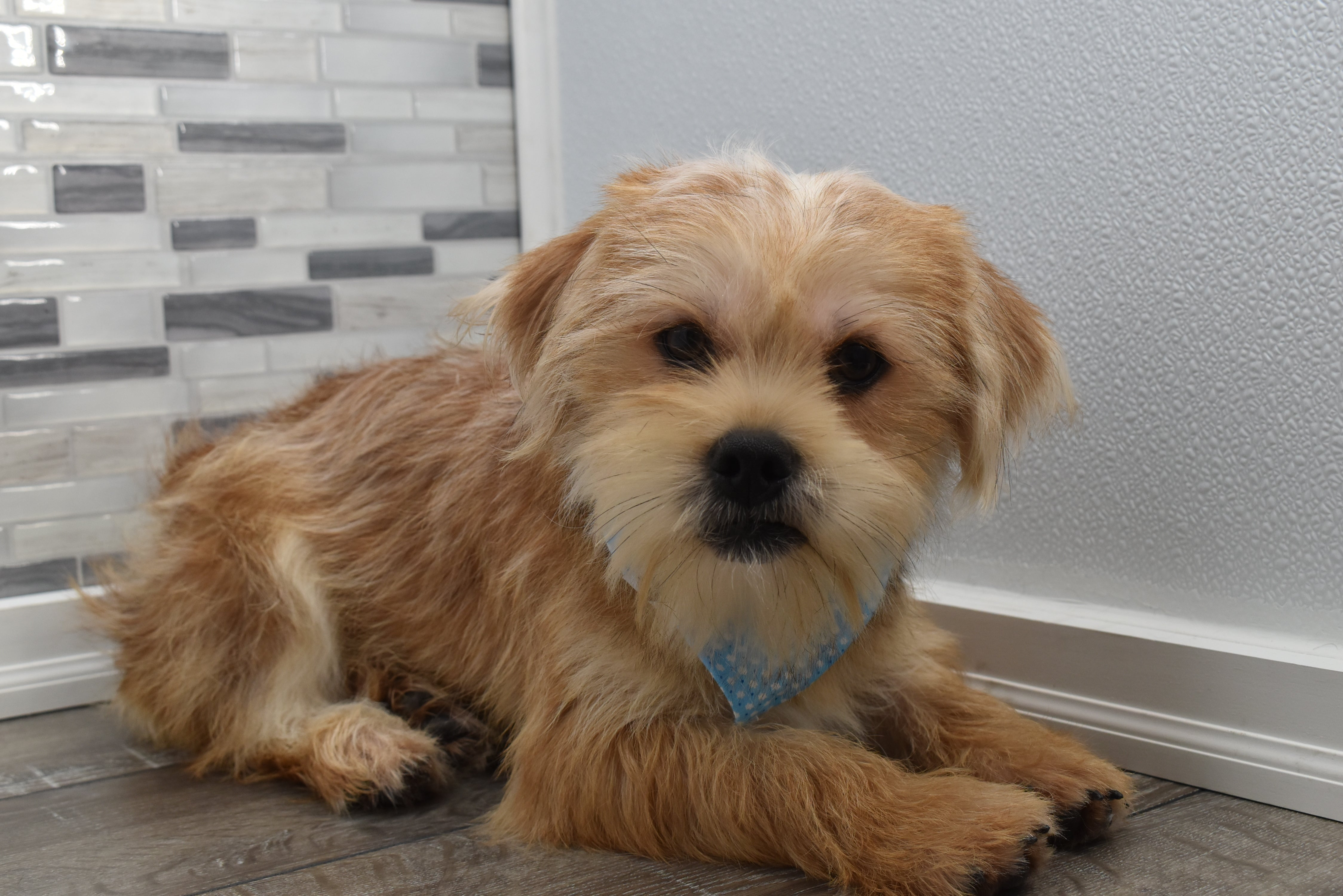 *RESERVED*Shepherd Male Teacup Shorkie Puppy