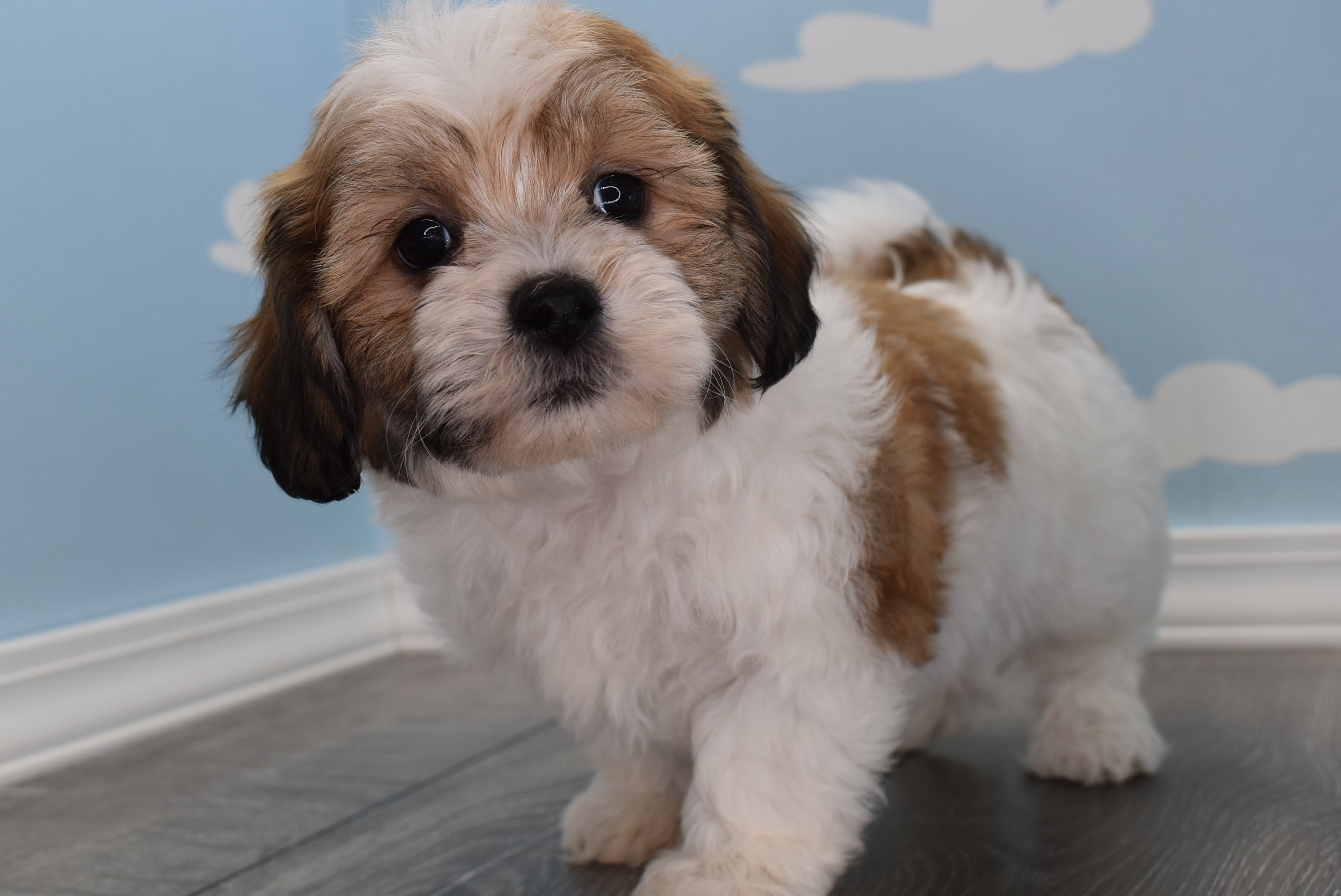 *RESERVED* Dex *TRAINED* Male Teacup Teddy Bear Puppy