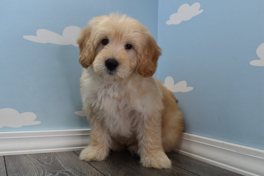 * RESERVED* Gator Male F1B Miniature Goldendoodle Puppy