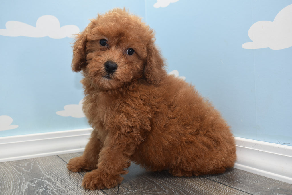 Cedric Male F1B Miniature Goldendoodle Puppy