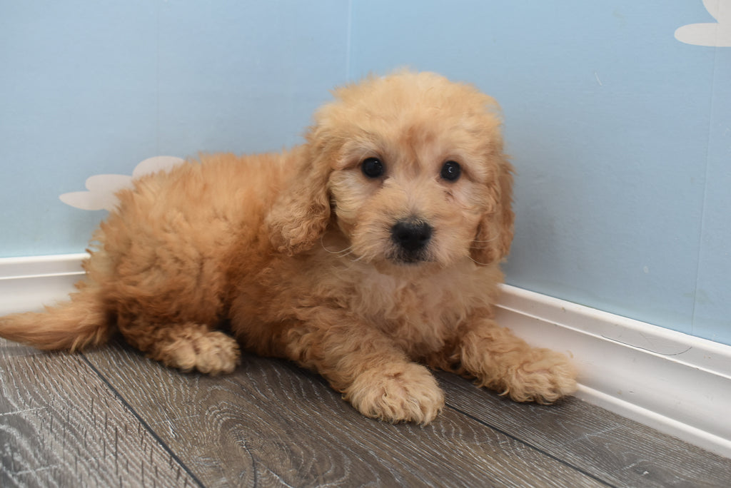 Caesar Male F1B Miniature Goldendoodle Puppy