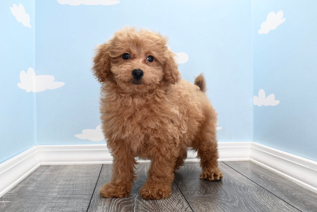 Carlton Male F1B Miniature Goldendoodle Puppy