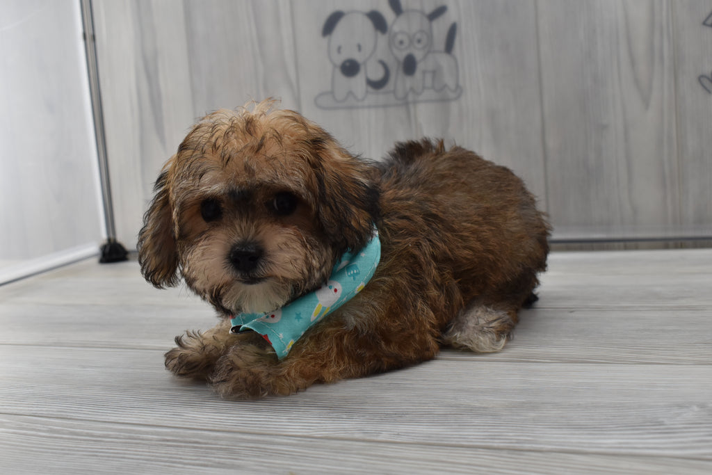 Topaz Male Teacup-Toy Yorkichon Puppy
