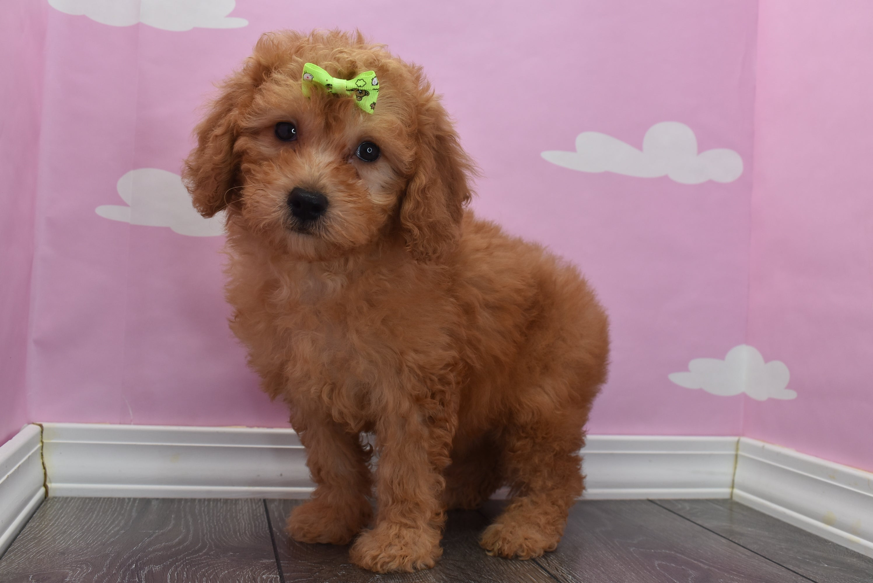 *RESERVED* Casey Female F1B Miniature Goldendoodle Puppy