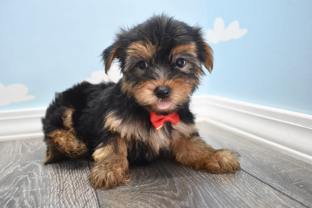 Yorkie Poo Puppies Happytail Puppies Family Dog Breeders In Nc