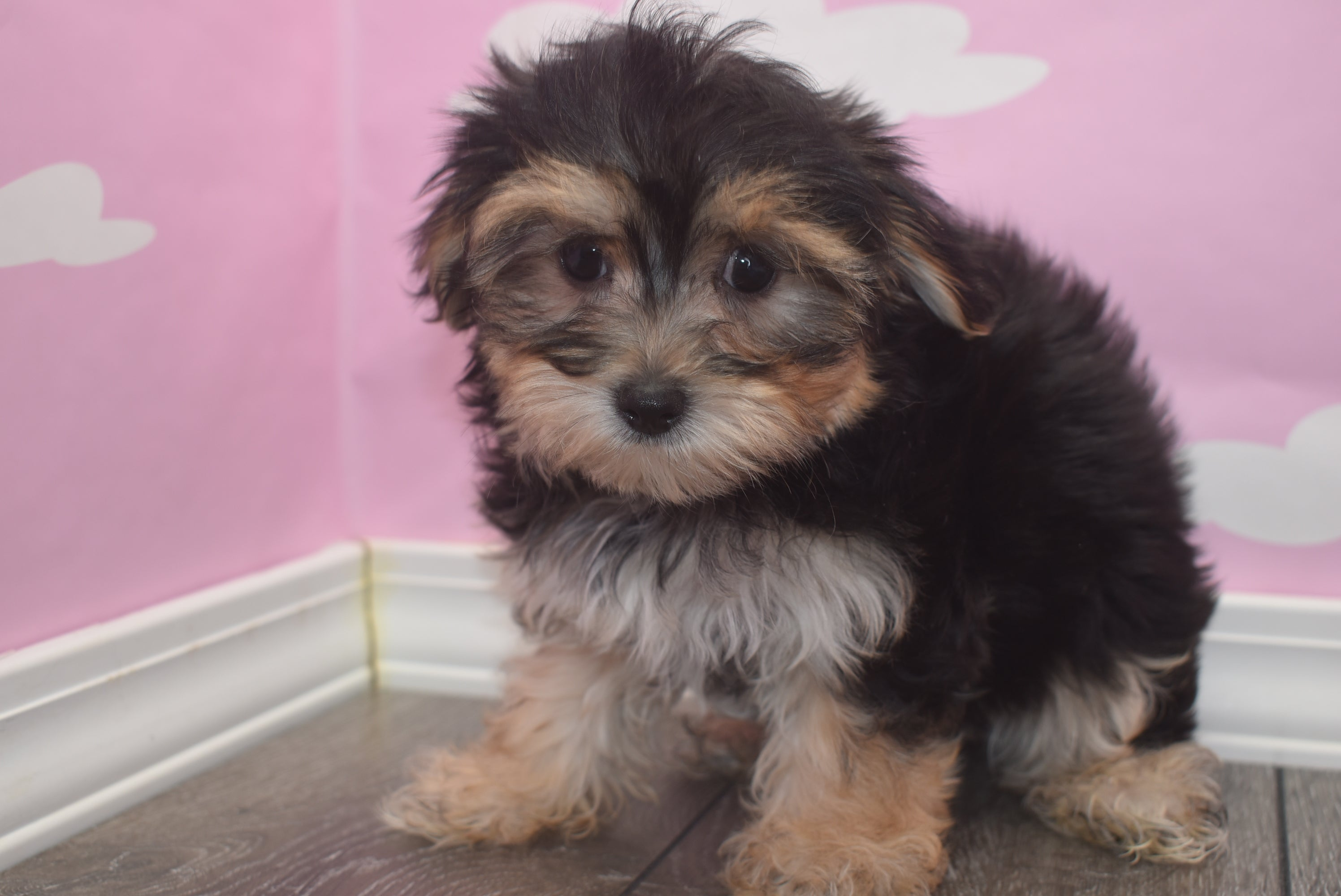 *RESERVED* Ladybug Female Teacup Morkie Puppy