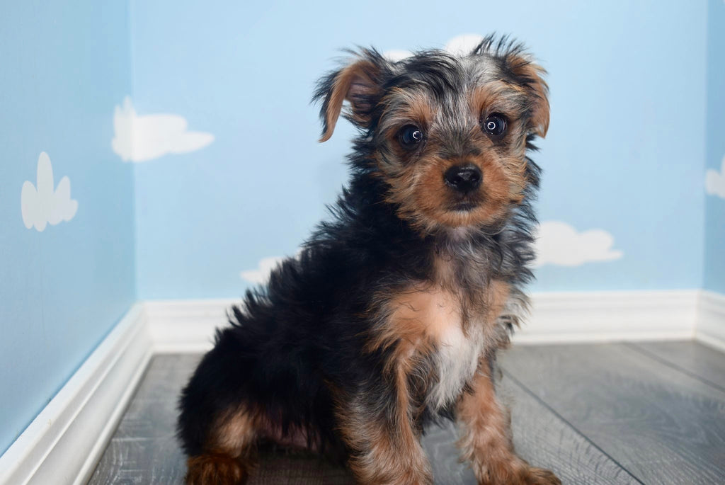 yorkie puppies for sale wilmington nc yorkie puppies for sale in north carolina 8707