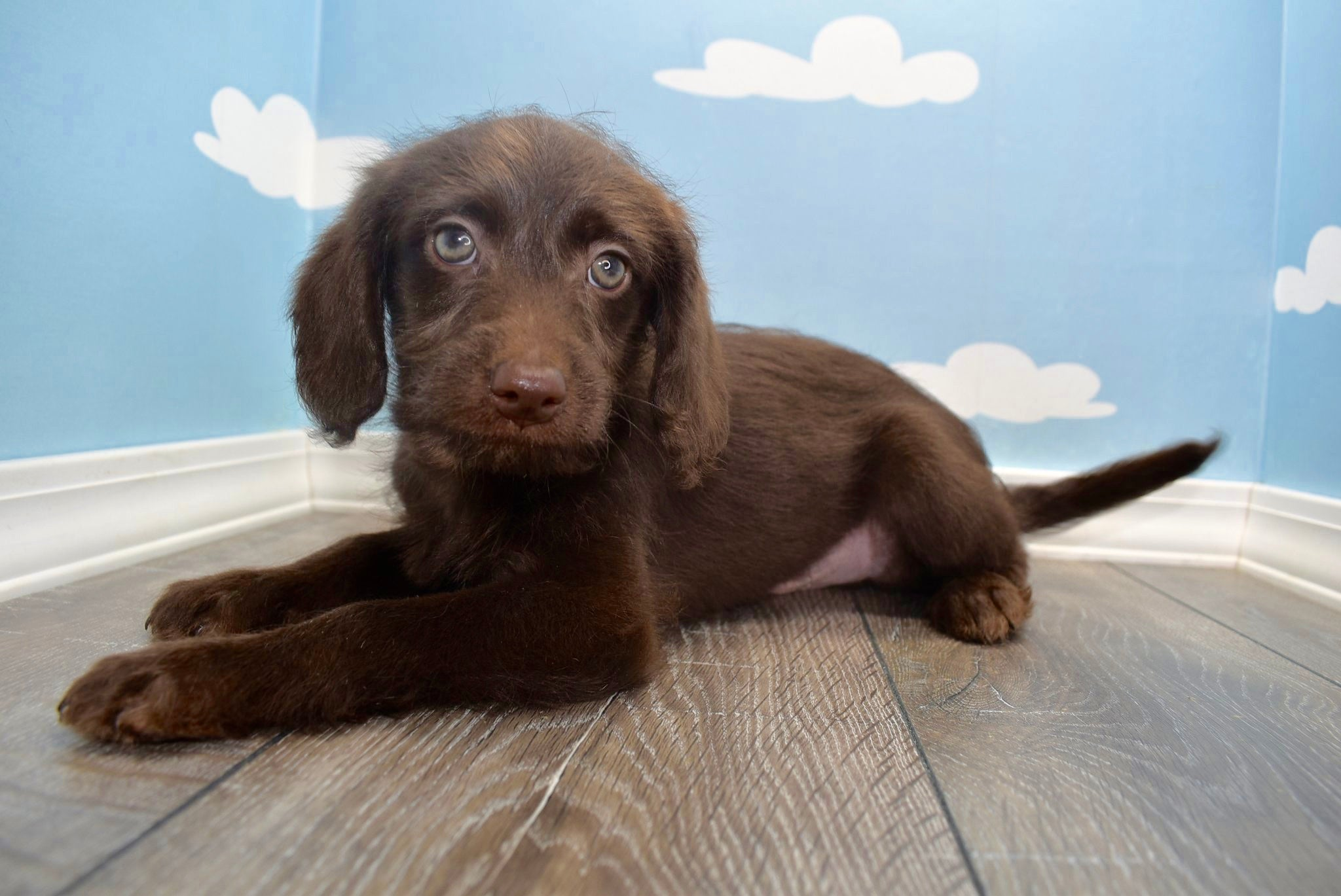Kodiak Male F1B Miniature Chocolate Labradoodle Puppy