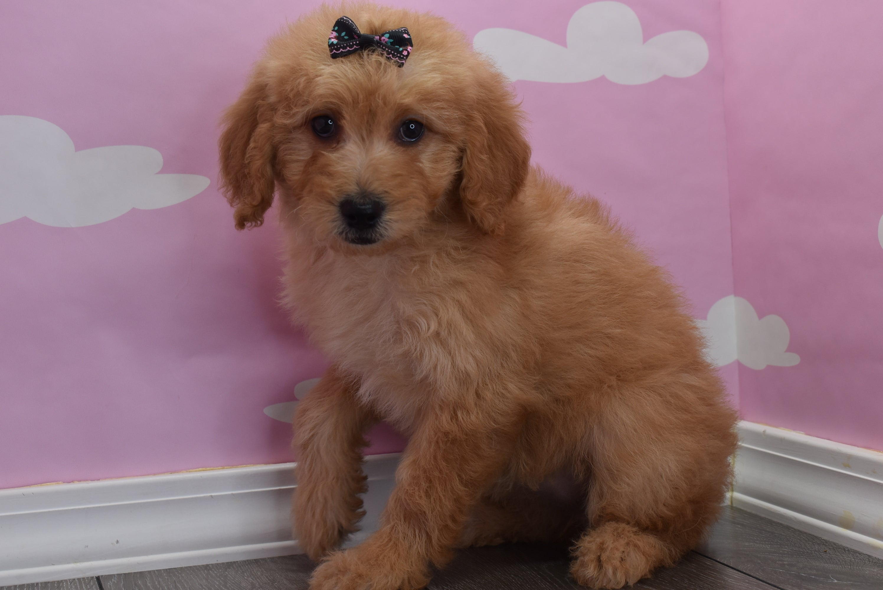 *RESERVED* Chiffon Female F1B Miniature Goldendoodle Puppy