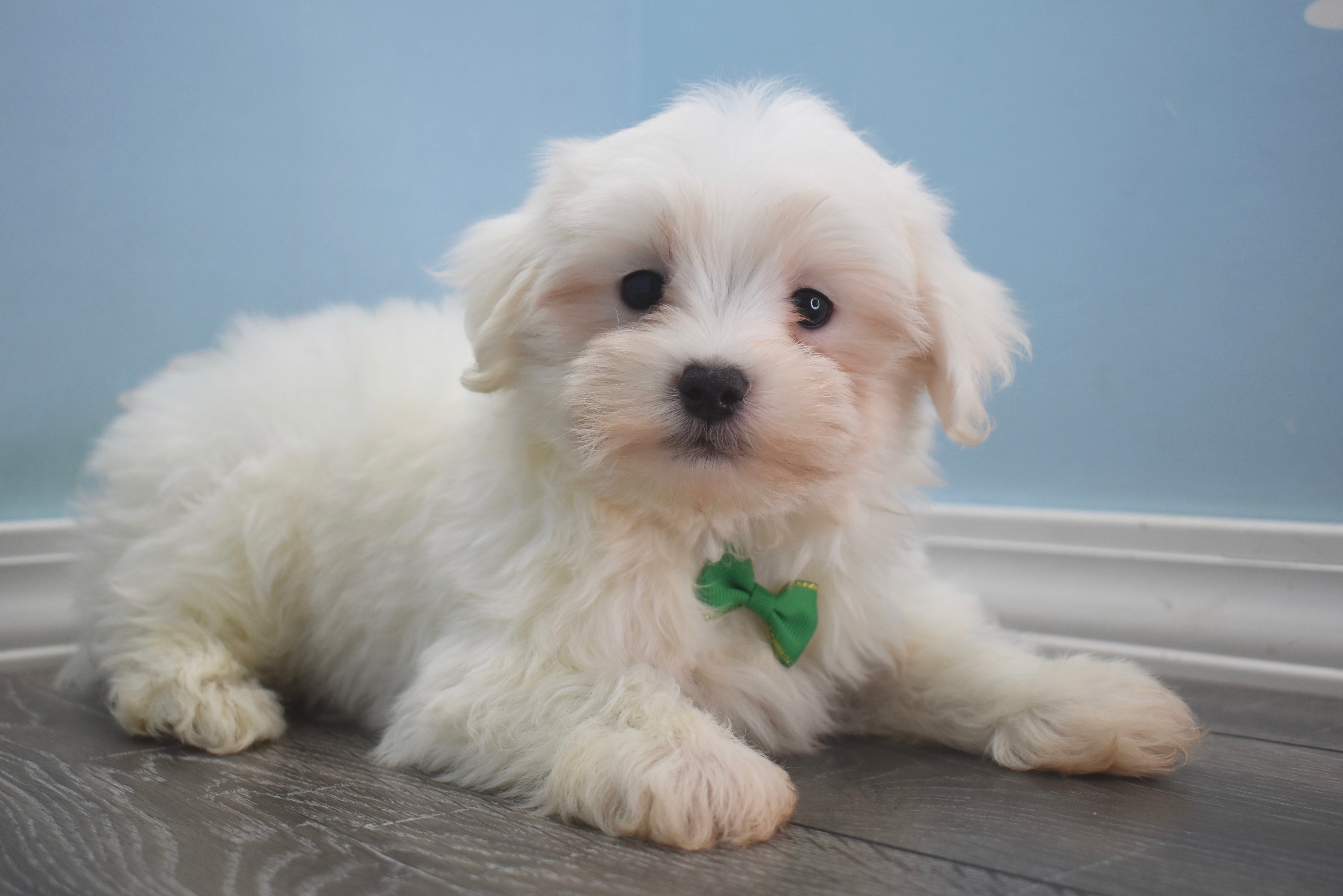 *RESERVED* Brady Male Teacup Maltese Puppy