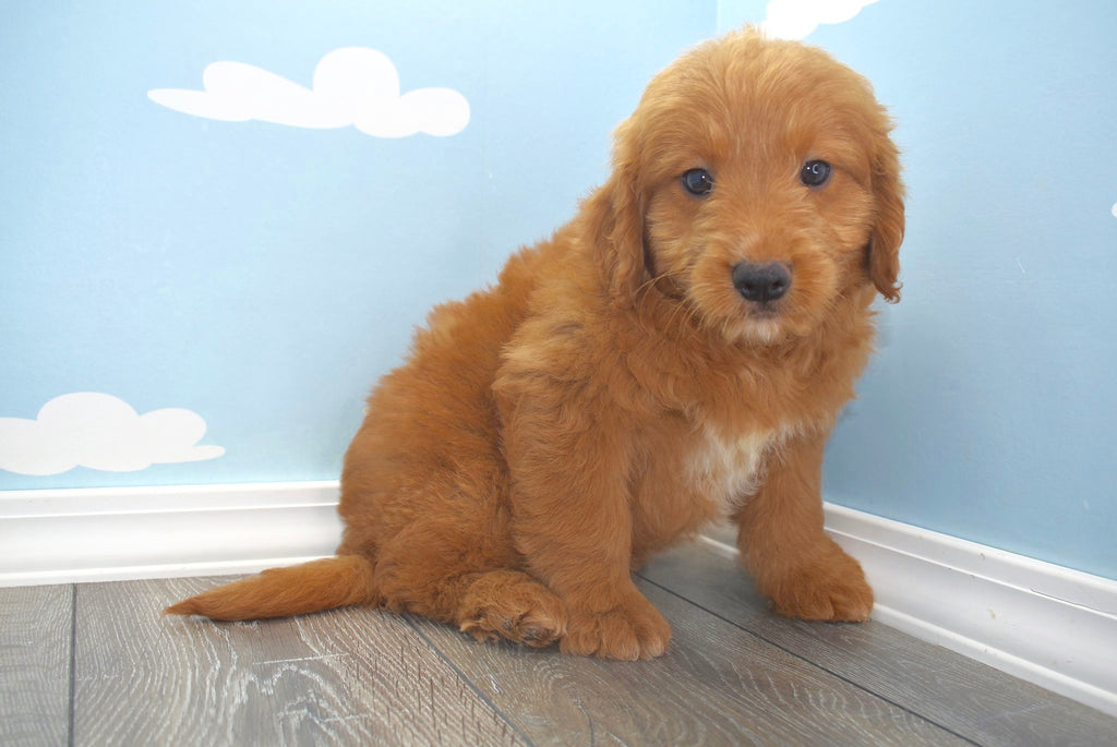 Elmer Male Miniature Goldendoodle Puppy
