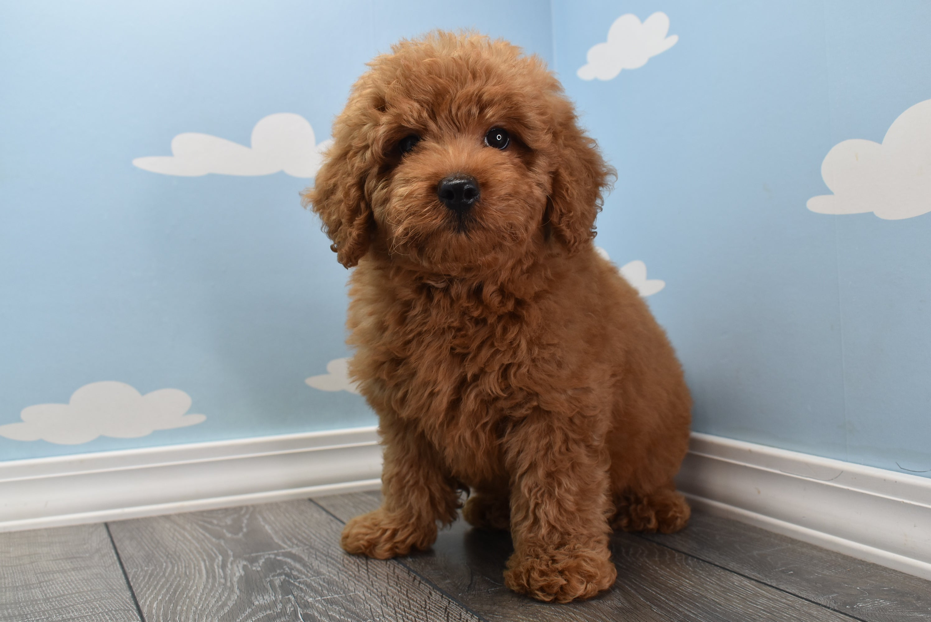**RESERVED**Lennon Male F1B Miniature Goldendoodle Puppy