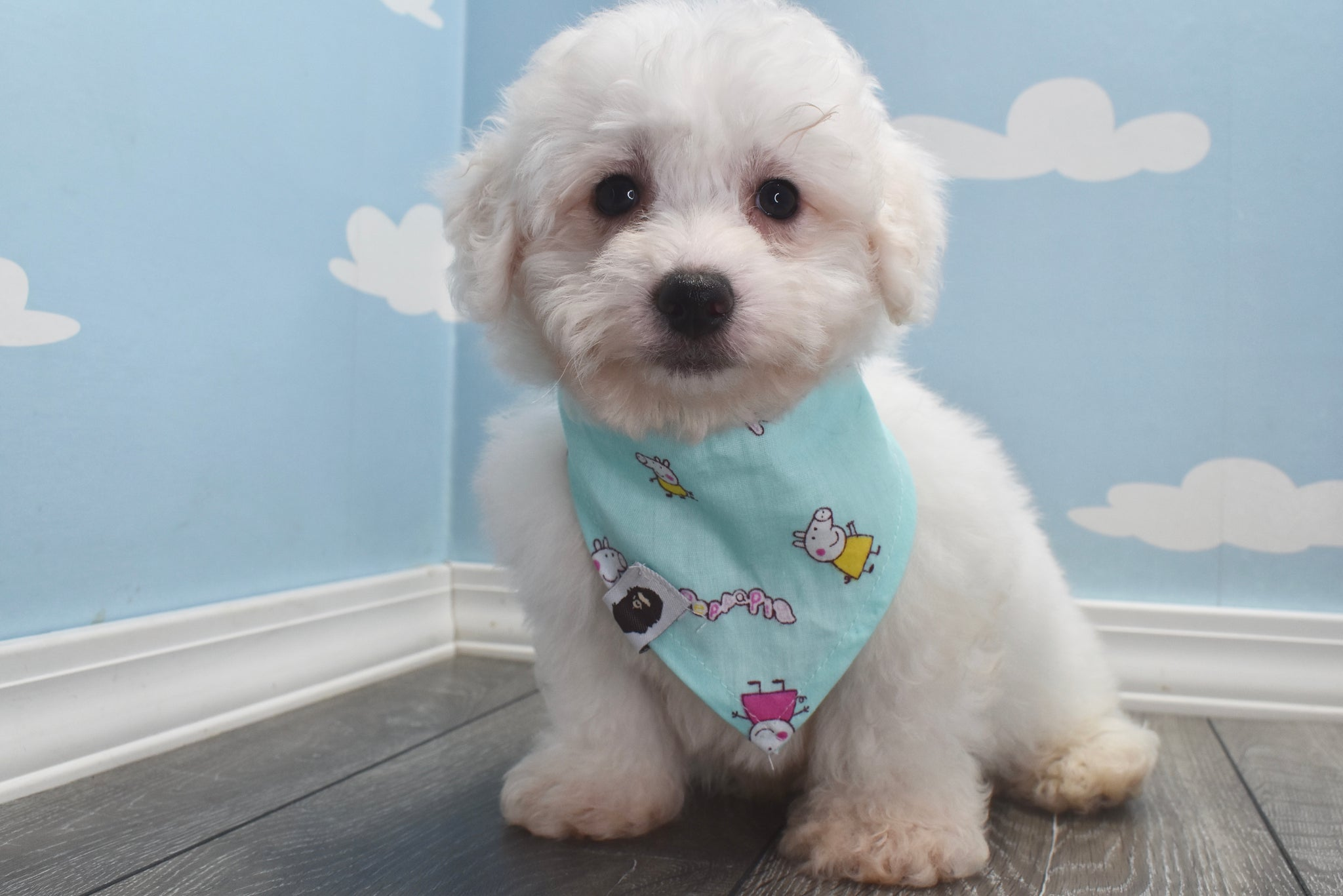 *RESERVED* Bear Male Bichon Frise Puppy