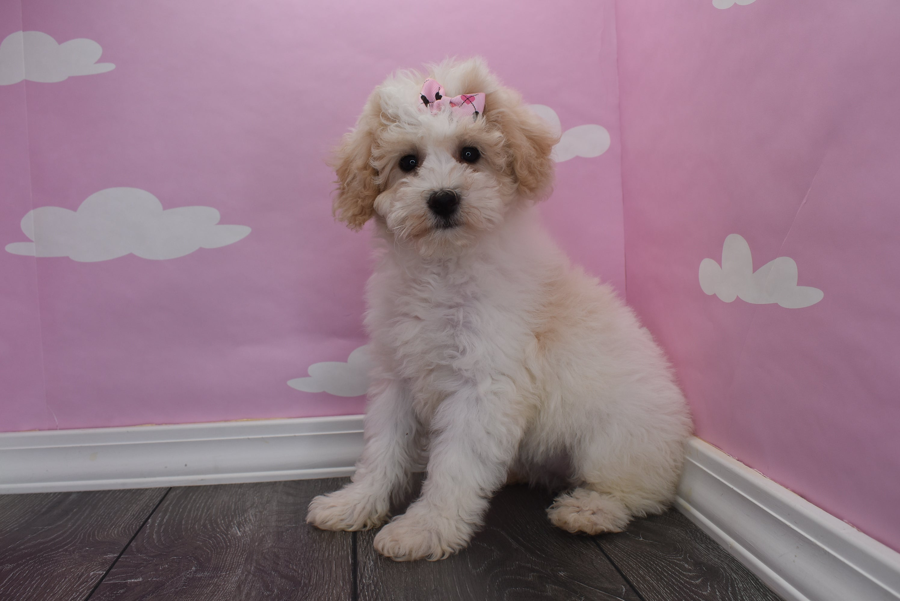 *RESERVED* Avalon Female Teacup Daisy Dog Puppy