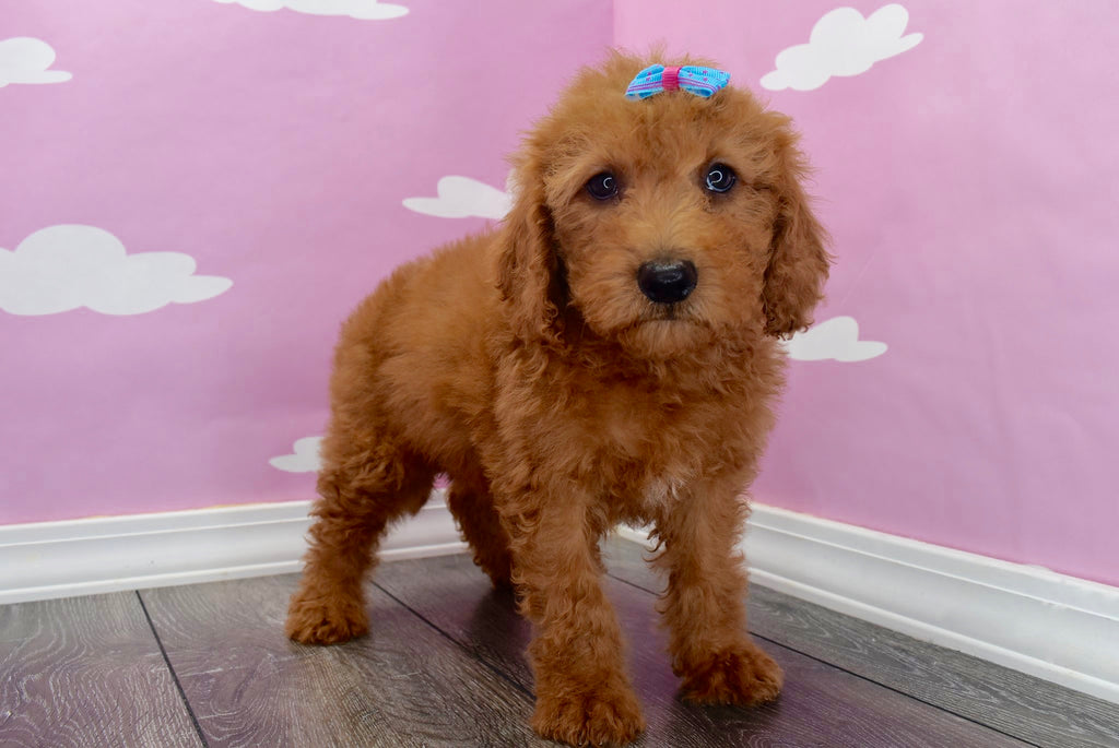Esther Female F1B Miniature Goldendoodle Puppy