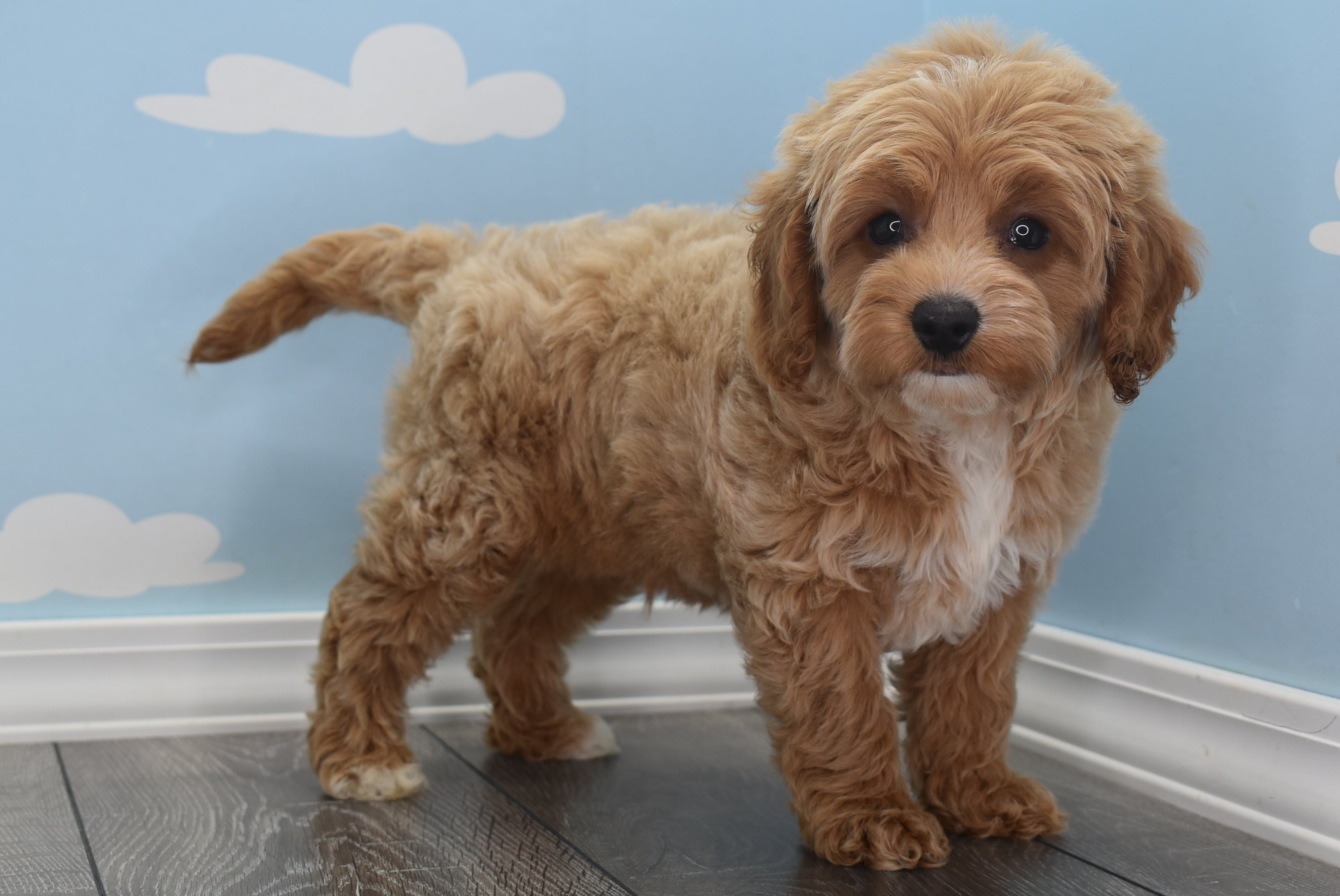 *RESERVED* Nash Male F1B Cavapoo Puppy