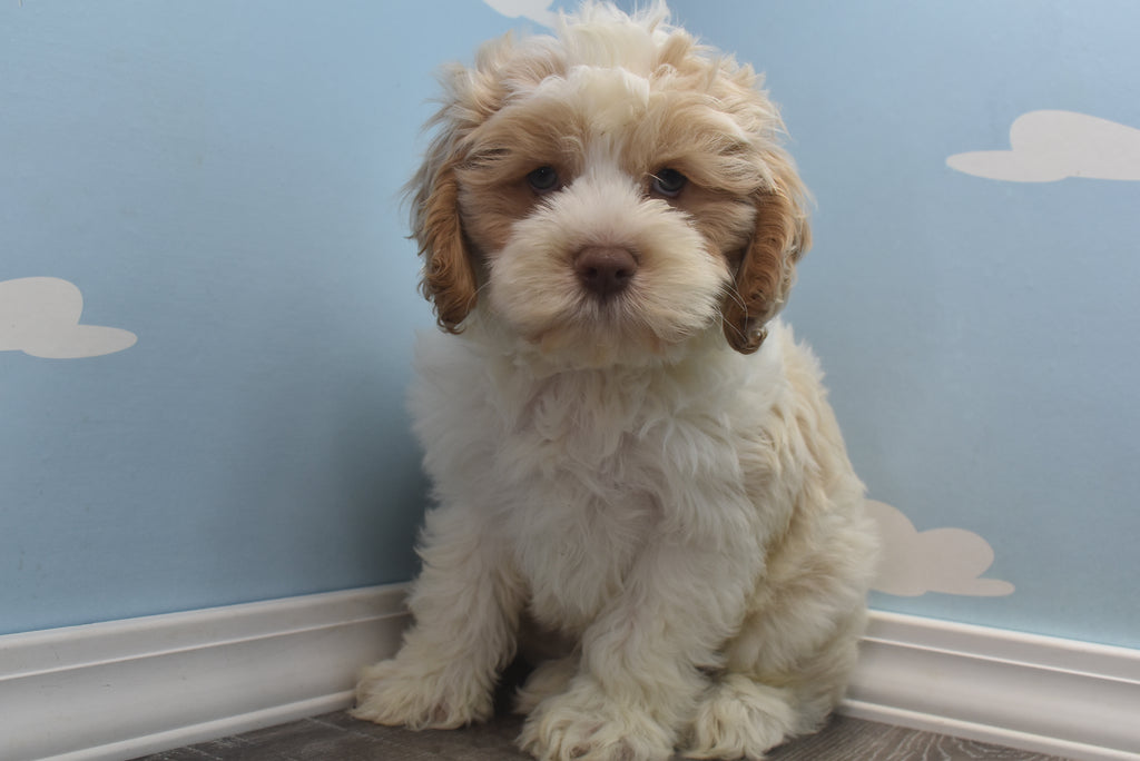 Timber Male Miniature Cockapoo Puppy