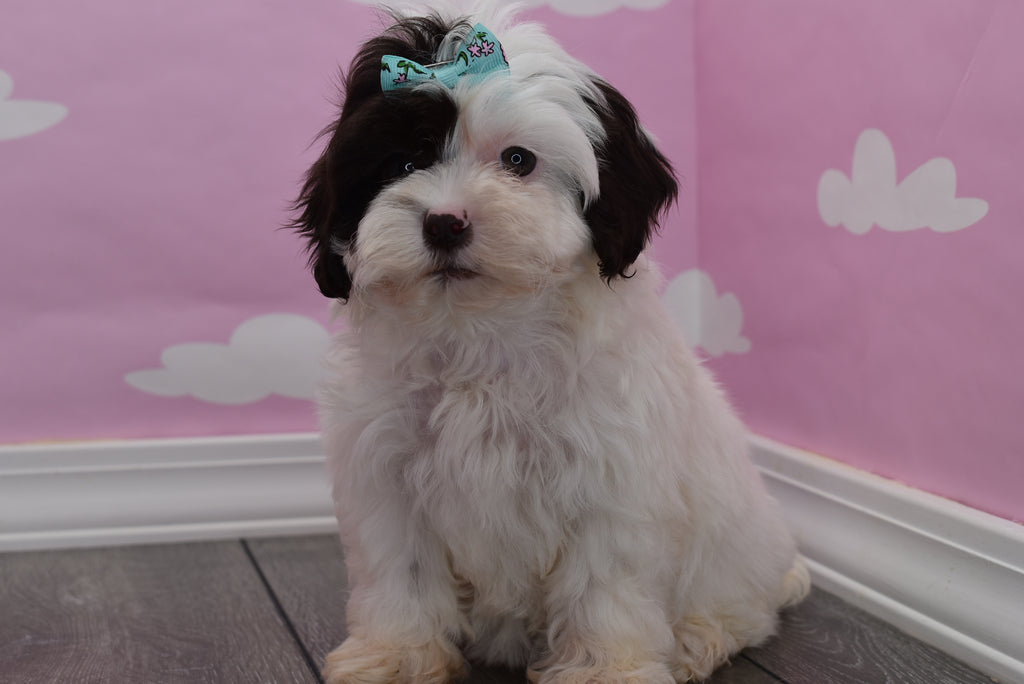 **RESERVED** Asia Female Teacup Shihpoo Puppy