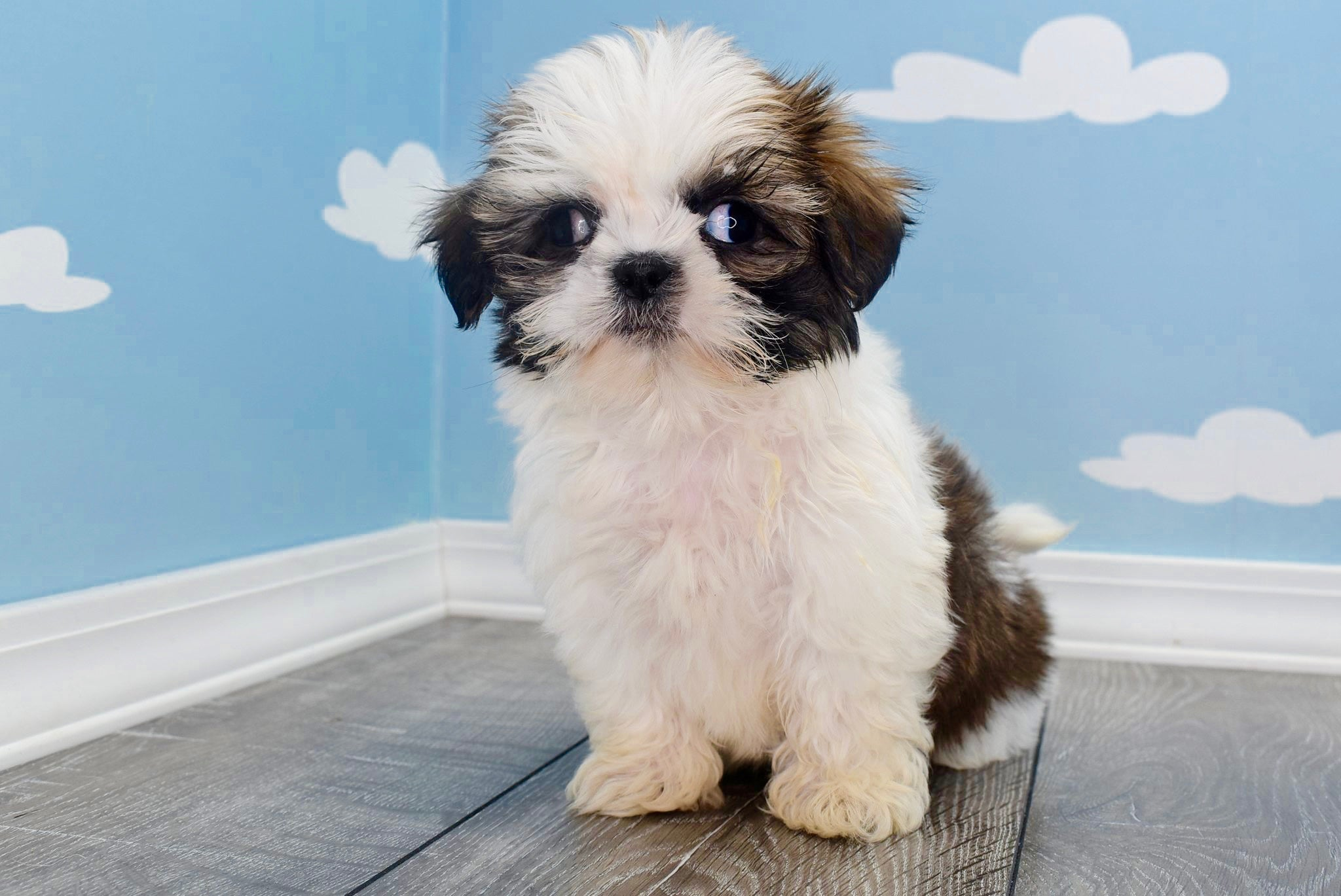 *RESERVED*Googles Male *PRE-TRAINED* Imperial Shih Tzu Puppy