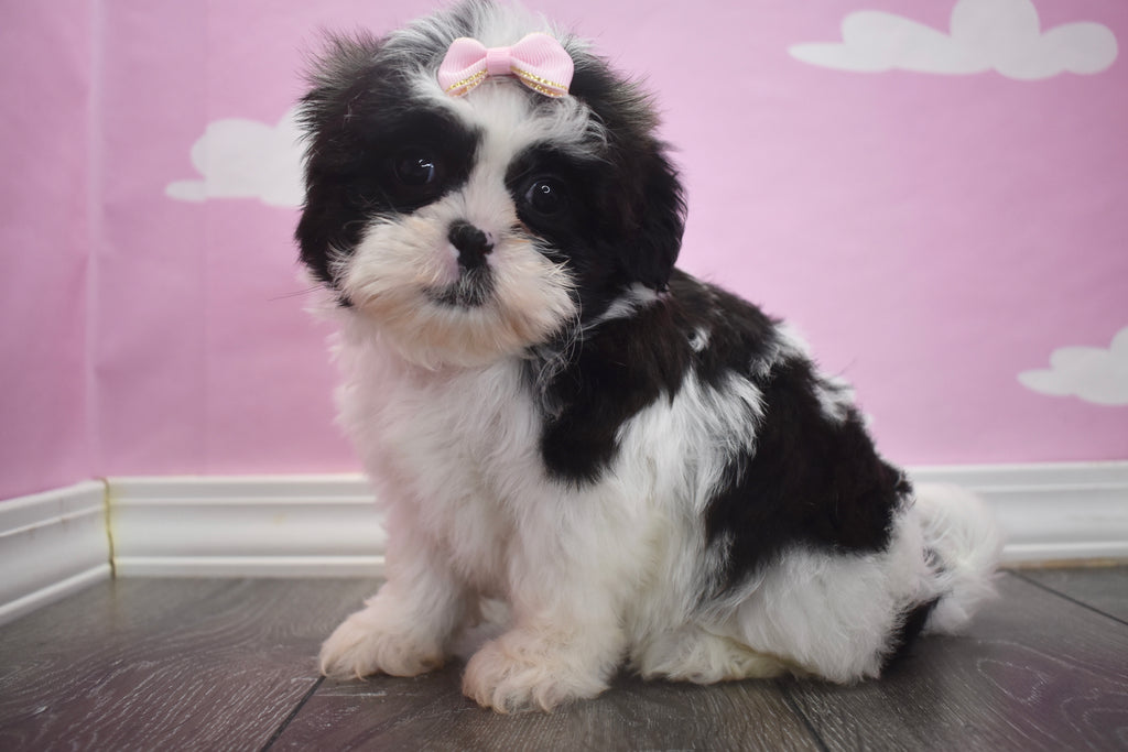 Puppies for sale happytail puppies nc home - Imperial westies ...