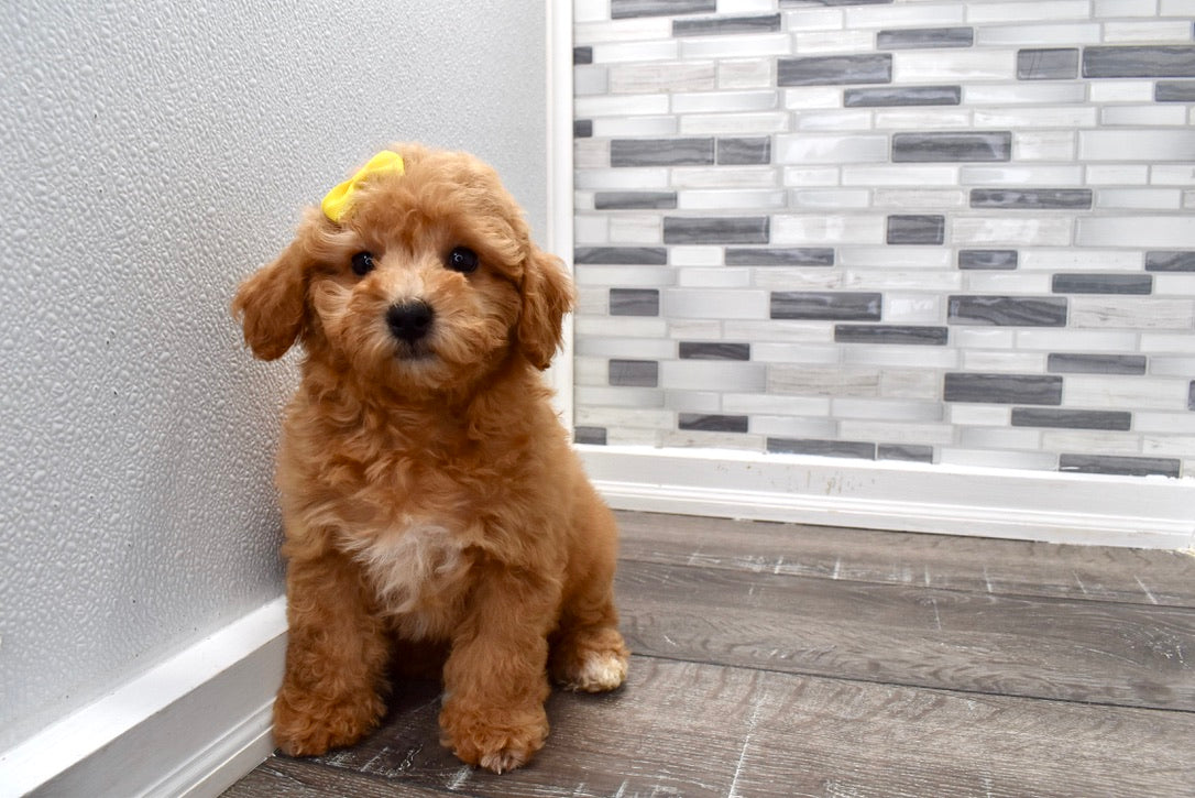 *RESERVED* Lois Female Cavachon Puppy