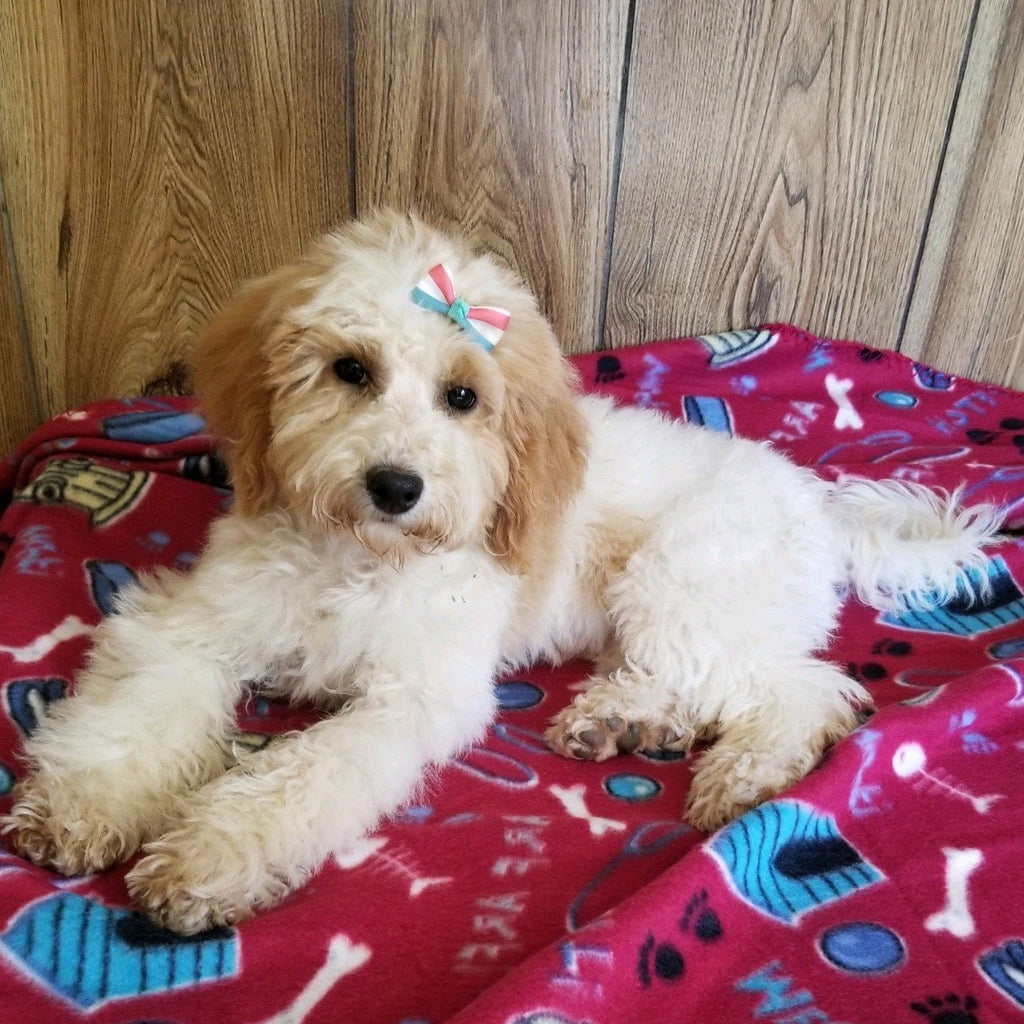 *PRE-TRAINED* Maisey Female Bichpoo Puppy