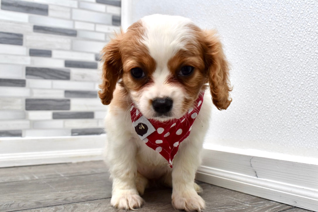 *RESERVED* Becca Female F1B Cavachon Puppy