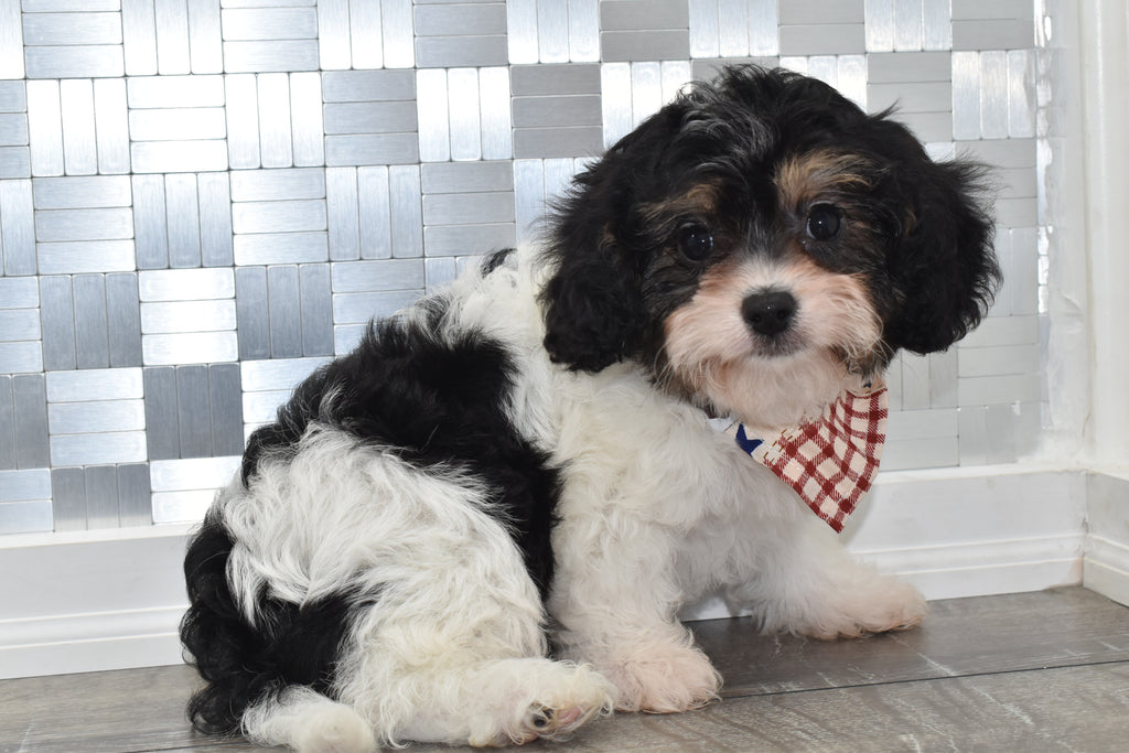 Abraham Male Cavapoo Puppy