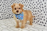 *RESERVED* Mauve Male Teacup Morkie Puppy