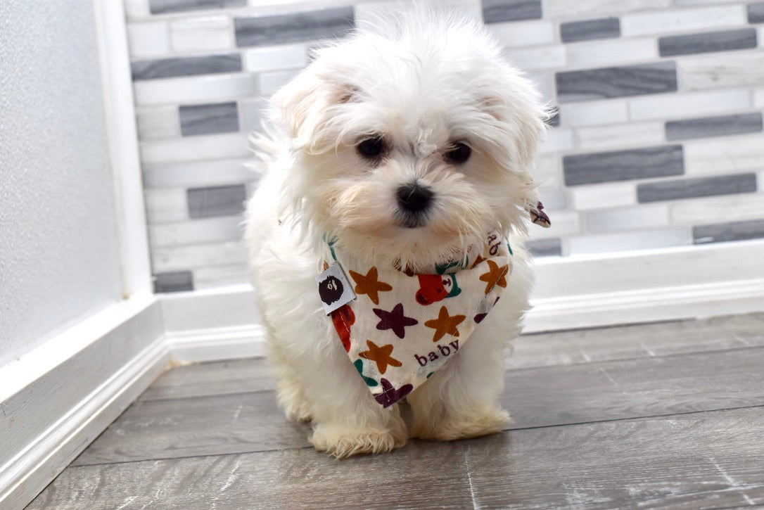 *RESERVED* Coconut Male Teacup Maltese Puppy