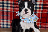 *RESERVED* Booker Male Boston Terrier Puppy