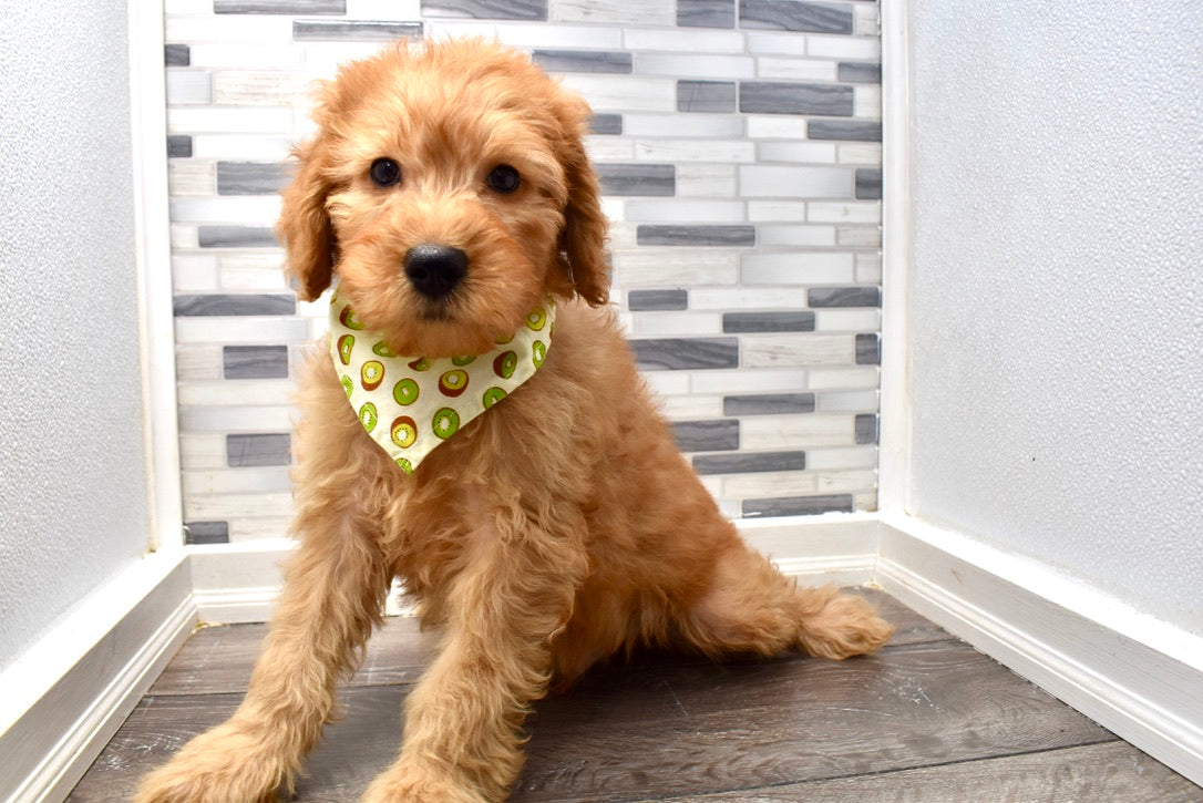 *RESERVED* Spruce Male Micro Mini F1B Goldendoodle Puppy