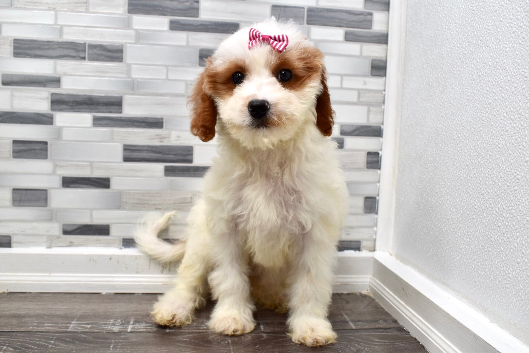*RESERVED*Haley Female F1B Cavapoo Puppy
