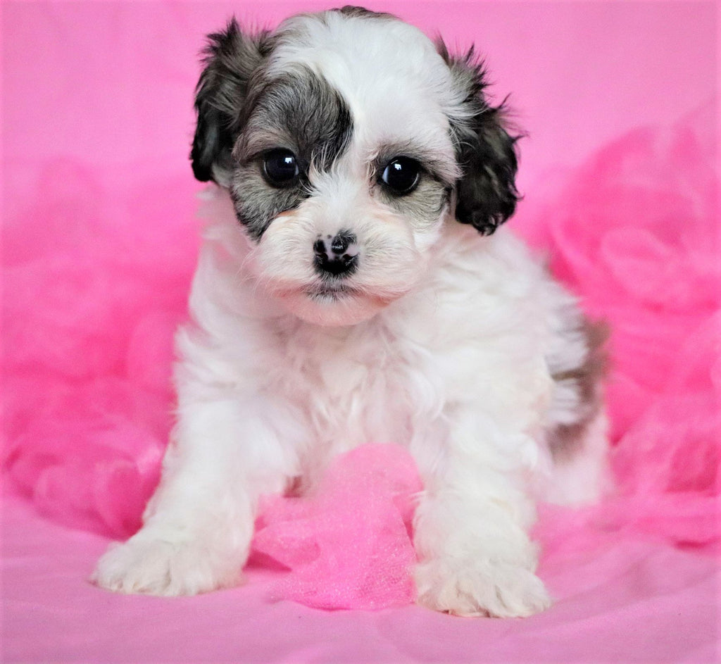 Kishi Female Teacup Teddy Bear Puppy*