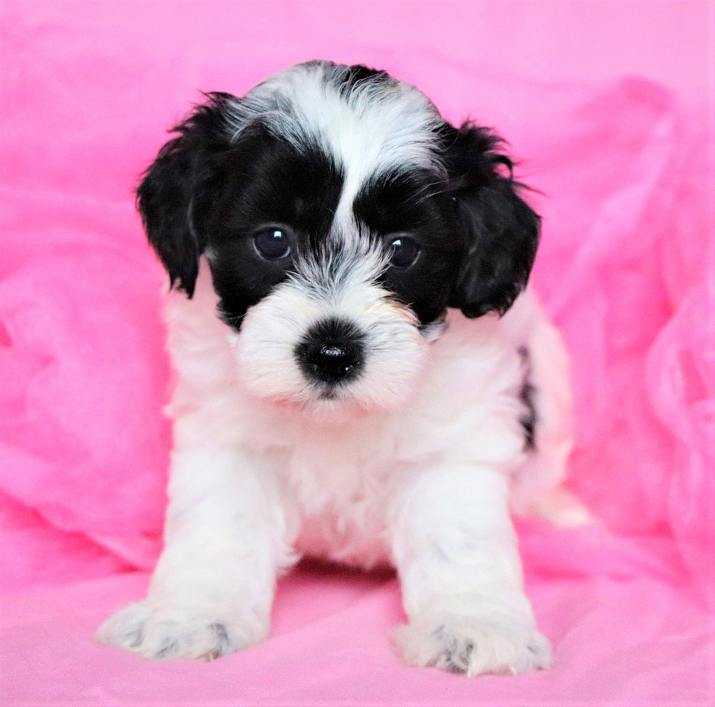 Ninna Female Teacup Teddy Bear Puppy*