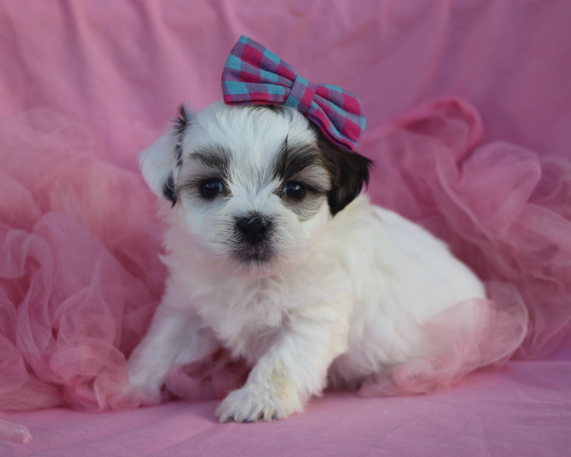 *RESERVED* Tamara Female Teacup Teddy Bear Puppy